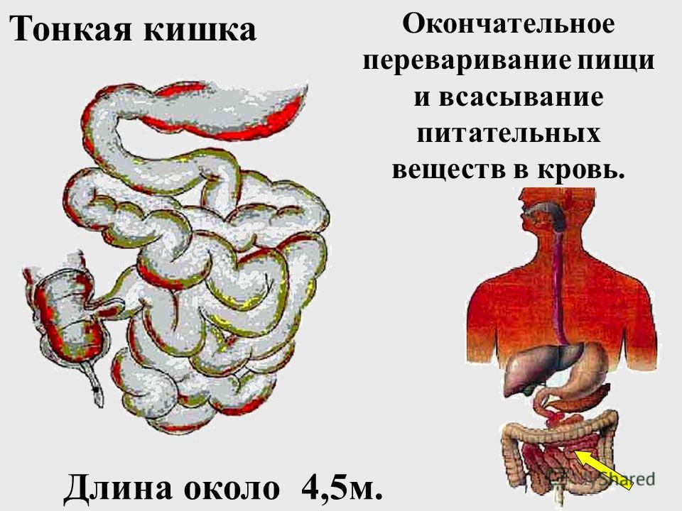 Желудочный сок вырабатывается многочисленными железами слизистой оболочки. 1кв.мм содержит около 100 желез. (ферменты, соляная кислота, слизь)