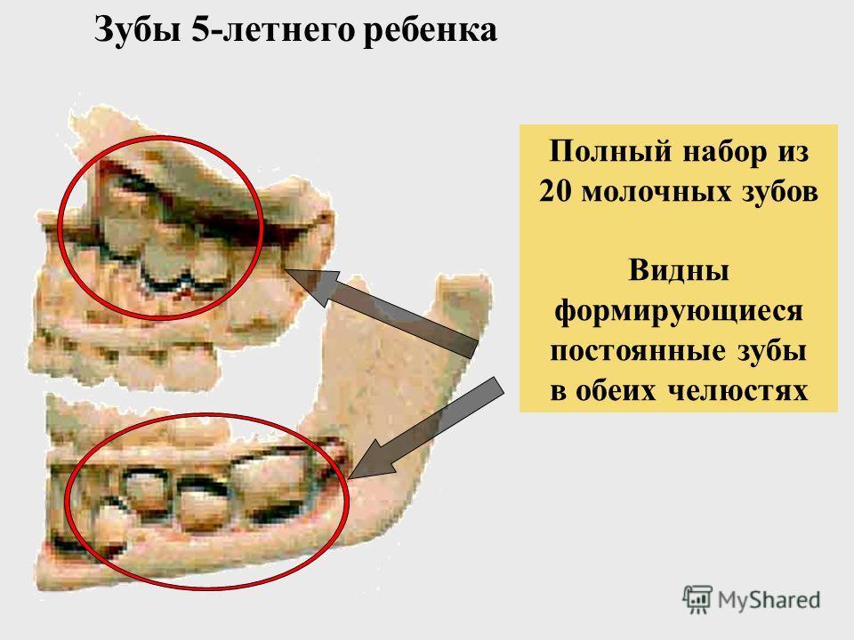 Челюсть новорожденного В костях челюстей видны развивающиеся первичные зубы Прорезаются к 6 месяцам