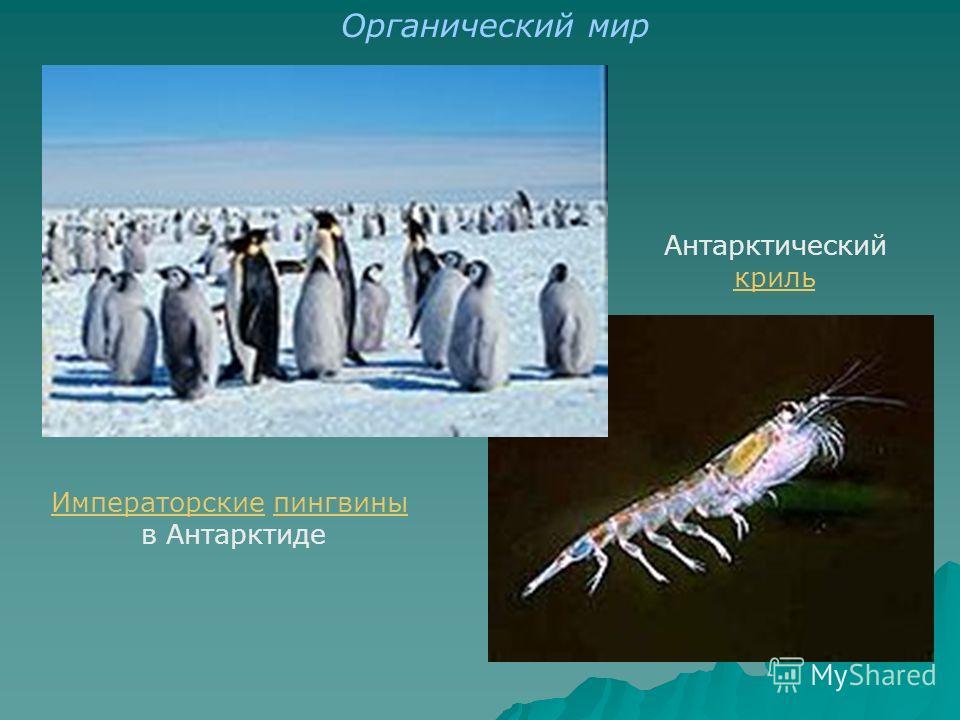 ИмператорскиеИмператорские пингвиныпингвины в Антарктиде Антарктический криль Органический мир