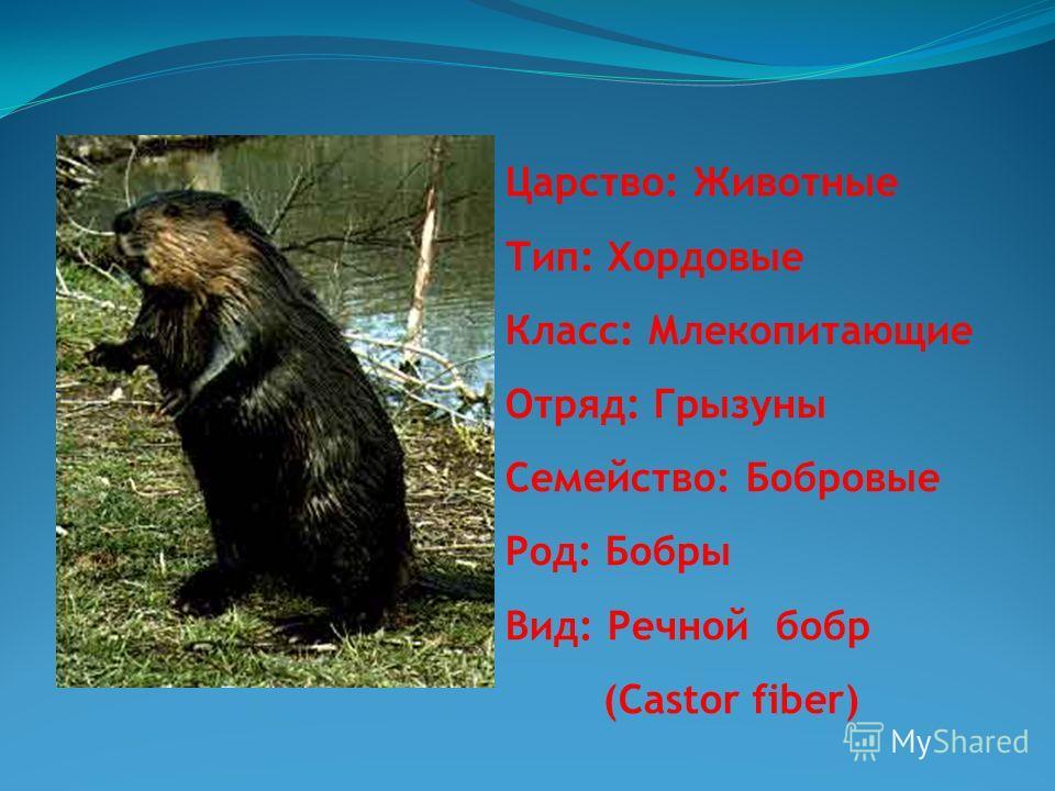 Царство: Животные Тип: Хордовые Класс: Млекопитающие Отряд: Грызуны Семейство: Бобровые Род: Бобры Вид: Речной бобр (Castor fiber)