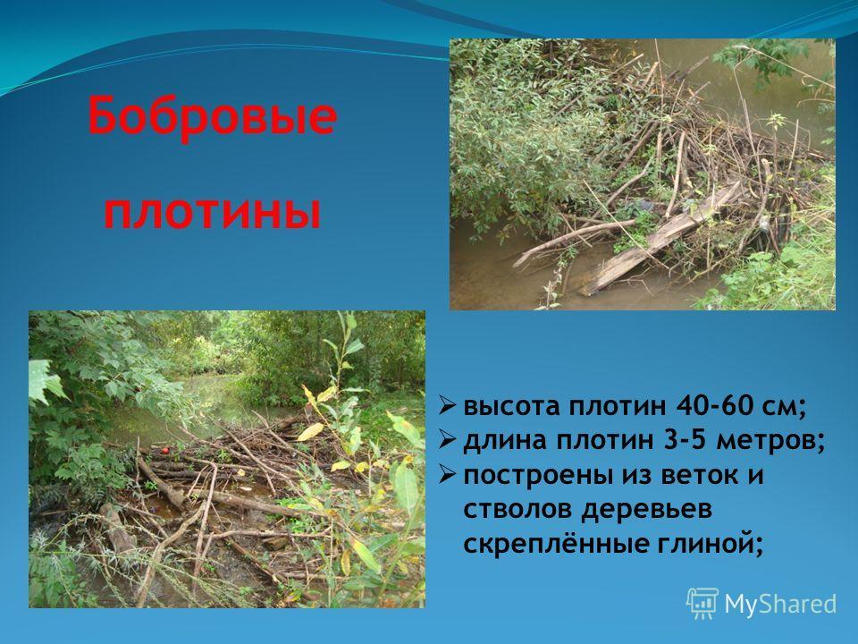 Бобровые плотины высота плотин 40-60 см; длина плотин 3-5 метров; построены из веток и стволов деревьев скреплённые глиной;