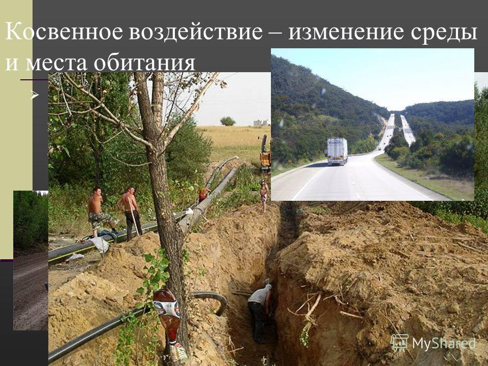 Косвенное воздействие – изменение среды и места обитания Прокладка автомобильных и железнодорожных магистралей и трубопроводов