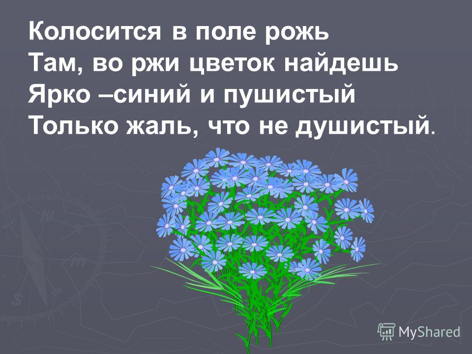 Колосится в поле рожь Там, во ржи цветок найдешь Ярко –синий и пушистый Только жаль, что не душистый.