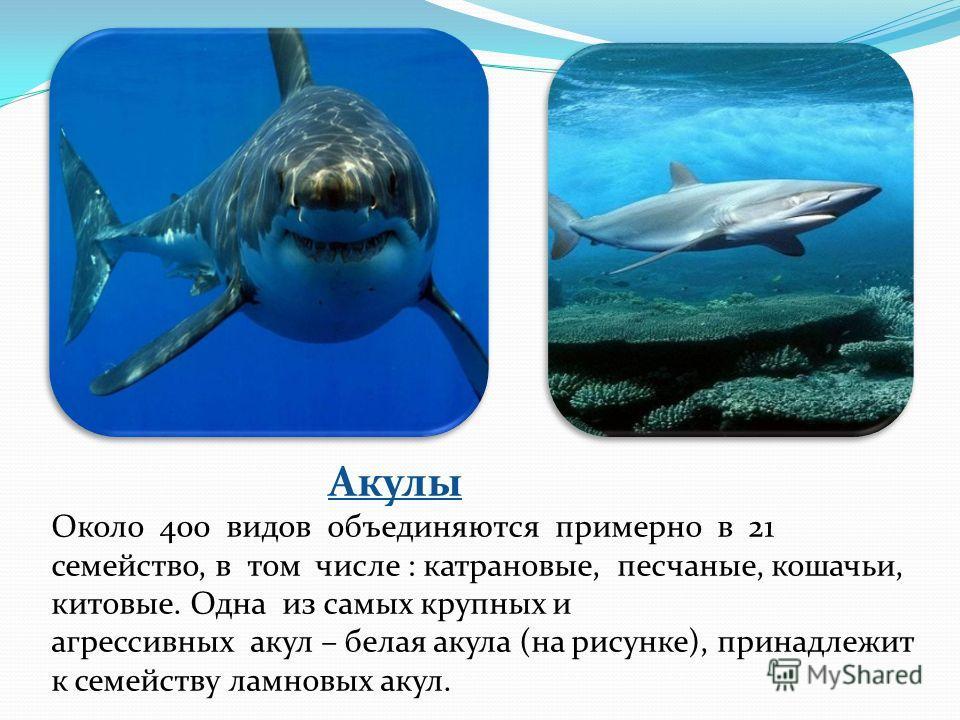 Акулы Около 400 видов объединяются примерно в 21 семейство, в том числе : катрановые, песчаные, кошачьи, китовые. Одна из самых крупных и агрессивных акул – белая акула (на рисунке), принадлежит к семейству ламновых акул.