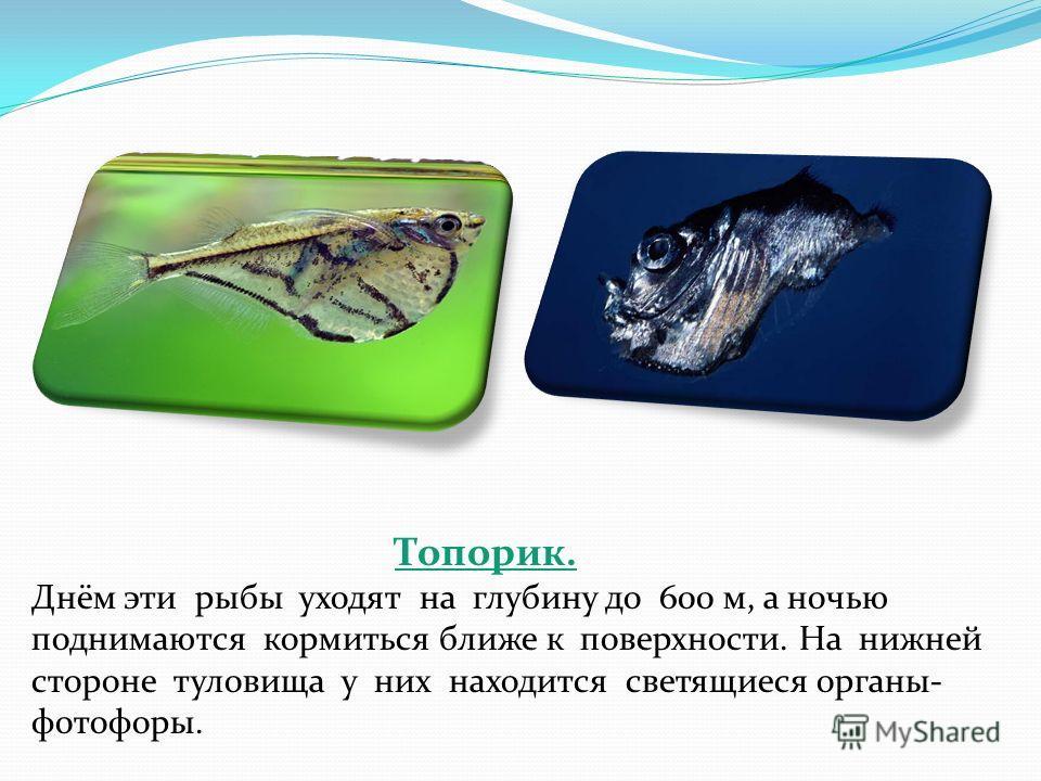 Топорик. Днём эти рыбы уходят на глубину до 600 м, а ночью поднимаются кормиться ближе к поверхности. На нижней стороне туловища у них находится светящиеся органы- фотофоры.
