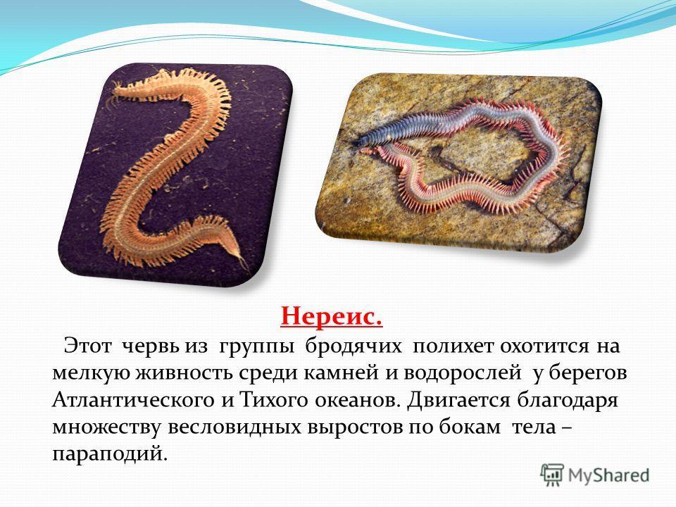 Нереис. Этот червь из группы бродячих полихет охотится на мелкую живность среди камней и водорослей у берегов Атлантического и Тихого океанов. Двигается благодаря множеству весловидных выростов по бокам тела – параподий.