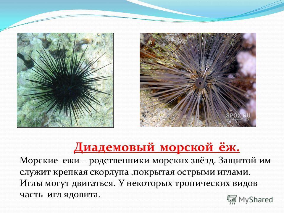 Диадемовый морской ёж. Морские ежи – родственники морских звёзд. Защитой им служит крепкая скорлупа,покрытая острыми иглами. Иглы могут двигаться. У некоторых тропических видов часть игл ядовита.