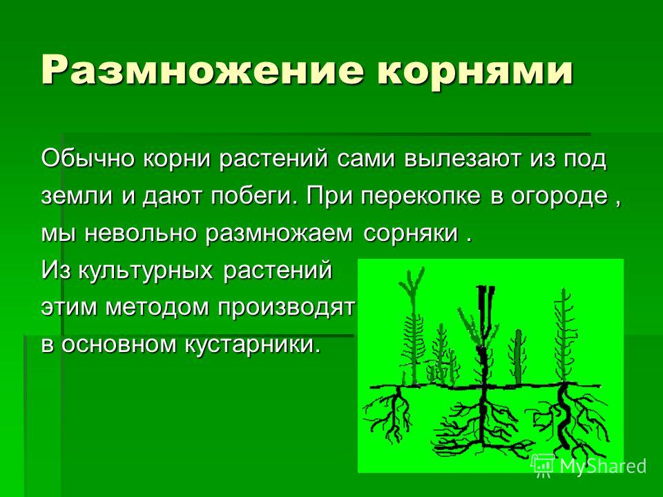 Размножение корнями Обычно корни растений сами вылезают из под земли и дают побеги. При перекопке в огороде, мы невольно размножаем сорняки. Из культурных растений этим методом производят в основном кустарники.