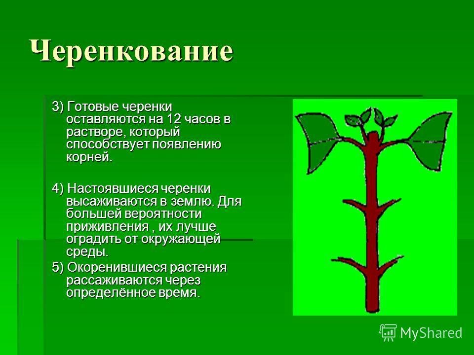 Черенкование 3) Готовые черенки оставляются на 12 часов в растворе, который способствует появлению корней. 3) Готовые черенки оставляются на 12 часов в растворе, который способствует появлению корней. 4) Настоявшиеся черенки высаживаются в землю. Для