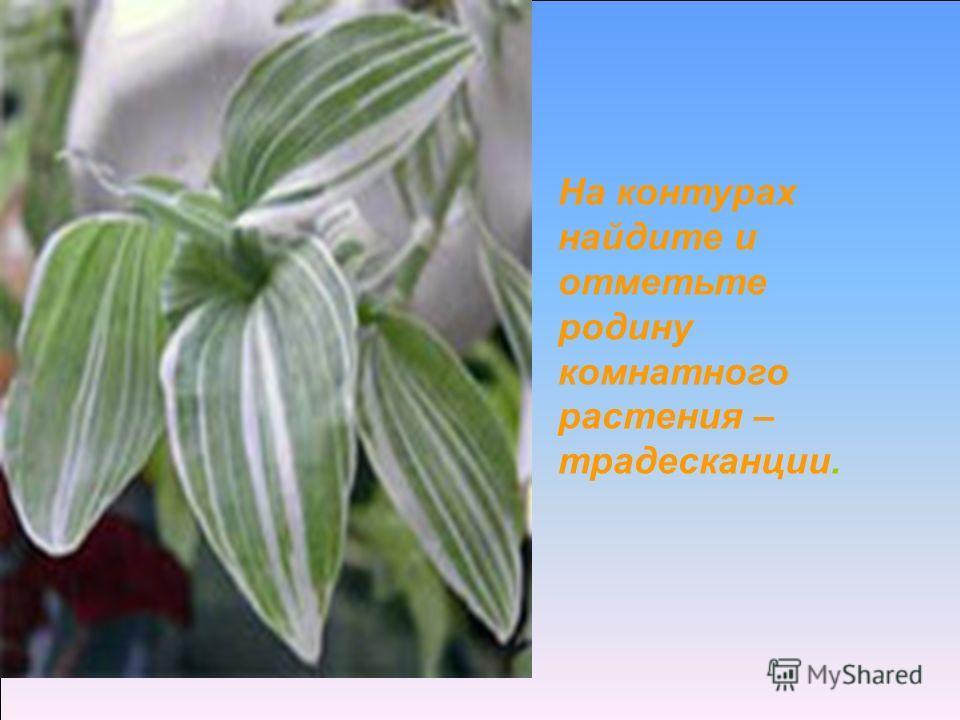 На контурах найдите и отметьте родину комнатного растения – традесканции.
