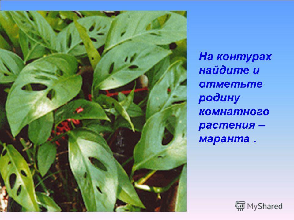 На контурах найдите и отметьте родину комнатного растения – маранта.