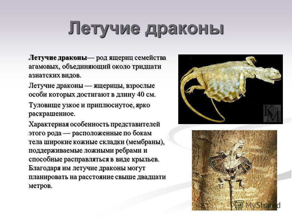 Летучие драконы Летучие драконы род ящериц семейства агамовых, объединяющий около тридцати азиатских видов. Летучие драконы род ящериц семейства агамовых, объединяющий около тридцати азиатских видов. Летучие драконы ящерицы, взрослые особи которых до