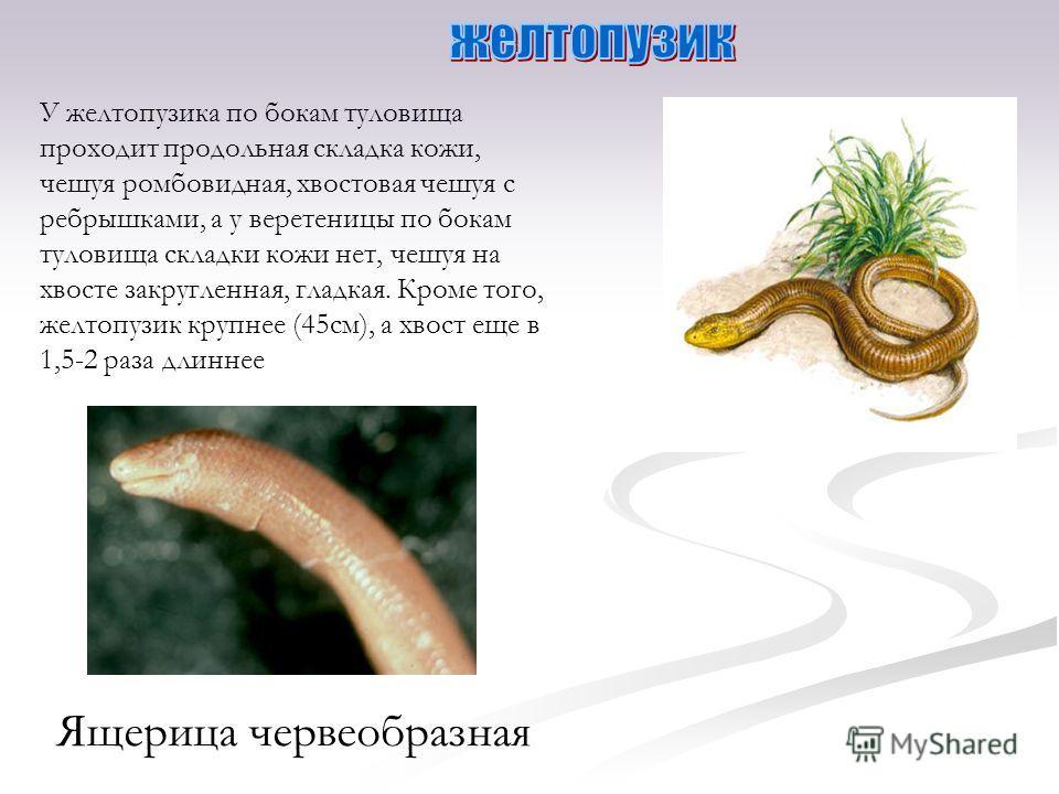 У желтопузика по бокам туловища проходит продольная складка кожи, чешуя ромбовидная, хвостовая чешуя с ребрышками, а у веретеницы по бокам туловища складки кожи нет, чешуя на хвосте закругленная, гладкая. Кроме того, желтопузик крупнее (45см), а хвос