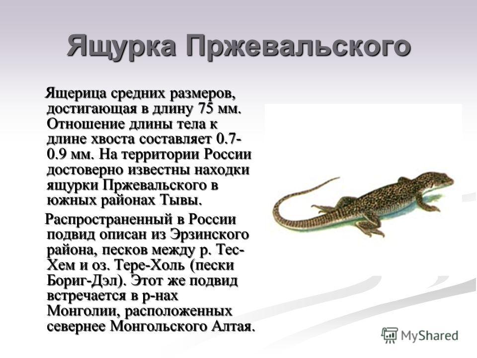 Ящурка Пржевальского Ящерица средних размеров, достигающая в длину 75 мм. Отношение длины тела к длине хвоста составляет 0.7- 0.9 мм. На территории России достоверно известны находки ящурки Пржевальского в южных районах Тывы. Ящерица средних размеров
