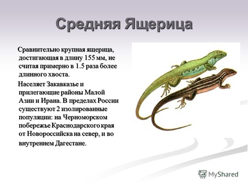 Средняя Ящерица Сравнительно крупная ящерица, достигающая в длину 155 мм, не считая примерно в 1.5 раза более длинного хвоста. Сравнительно крупная ящерица, достигающая в длину 155 мм, не считая примерно в 1.5 раза более длинного хвоста. Населяет Зак
