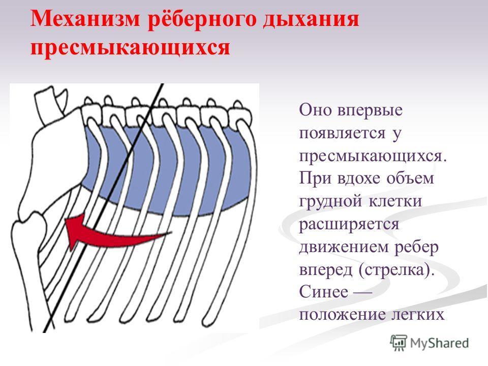 Оно впервые появляется у пресмыкающихся. При вдохе объем грудной клетки расширяется движением ребер вперед (стрелка). Синее положение легких Механизм рёберного дыхания пресмыкающихся