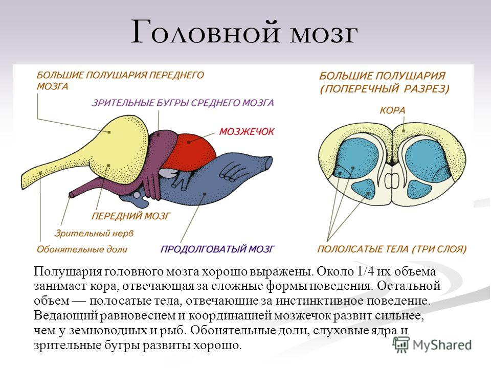 Полушария головного мозга хорошо выражены. Около 1/4 их объема занимает кора, отвечающая за сложные формы поведения. Остальной объем полосатые тела, отвечающие за инстинктивное поведение. Ведающий равновесием и координацией мозжечок развит сильнее, ч
