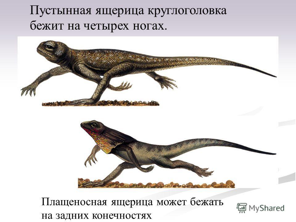 Пустынная ящерица круглоголовка бежит на четырех ногах. Плащеносная ящерица может бежать на задних конечностях