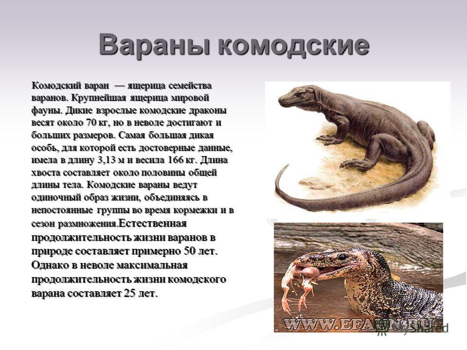Вараны комодские Комодский варан ящерица семейства варанов. Крупнейшая ящерица мировой фауны. Дикие взрослые комодские драконы весят около 70 кг, но в неволе достигают и больших размеров. Самая большая дикая особь, для которой есть достоверные данные