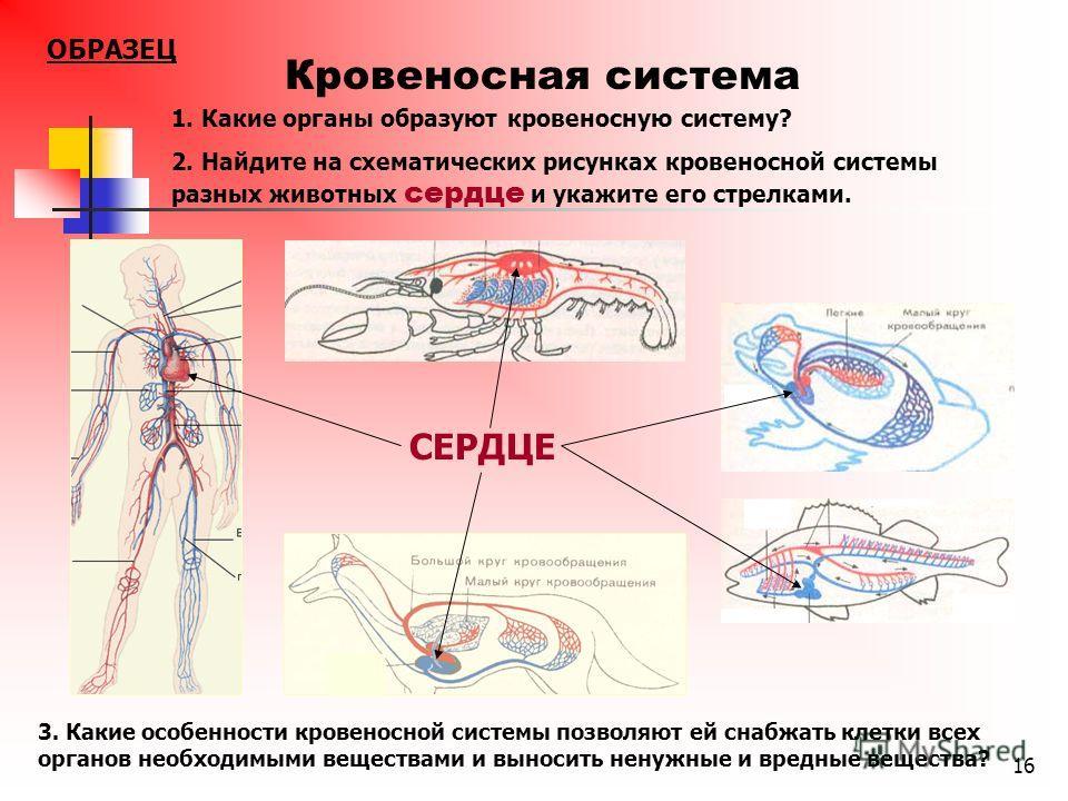 16 Кровеносная система СЕРДЦЕ 1. Какие органы образуют кровеносную систему? 2. Найдите на схематических рисунках кровеносной системы разных животных сердце и укажите его стрелками. 3. Какие особенности кровеносной системы позволяют ей снабжать клетки