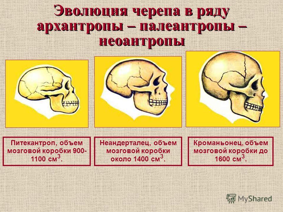 Эволюция черепа в ряду архантропы – палеантропы – неоантропы Питекантроп, объем мозговой коробки 900- 1100 см 3. Неандерталец, объем мозговой коробки около 1400 см 3. Кроманьонец, объем мозговой коробки до 1600 см 3.