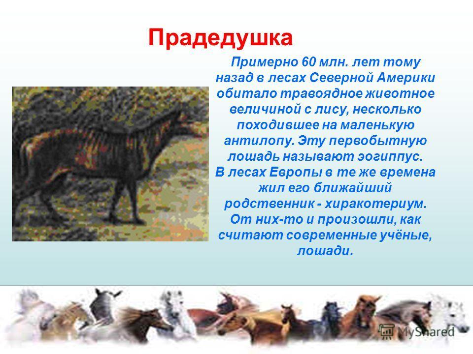 Прадедушка Примерно 60 млн. лет тому назад в лесах Северной Америки обитало травоядное животное величиной с лису, несколько походившее на маленькую антилопу. Эту первобытную лошадь называют эогиппус. В лесах Европы в те же времена жил его ближайший р
