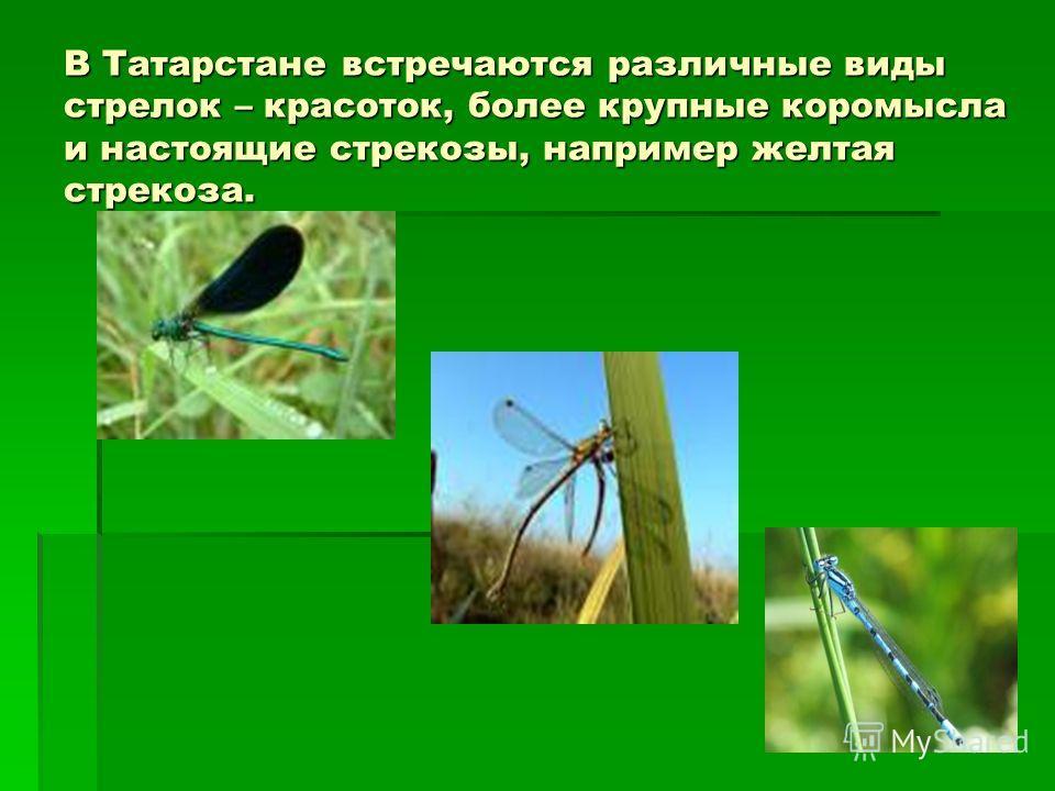 В Татарстане встречаются различные виды стрелок – красоток, более крупные коромысла и настоящие стрекозы, например желтая стрекоза.