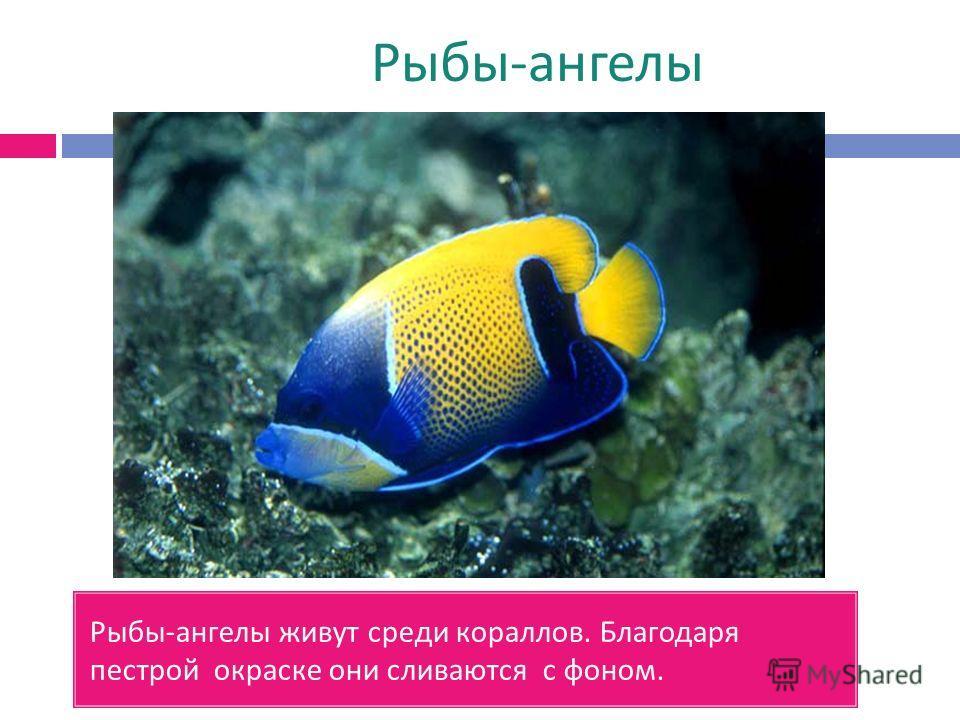 Рыбы - ангелы Рыбы - ангелы живут среди кораллов. Благодаря пестрой окраске они сливаются с фоном.
