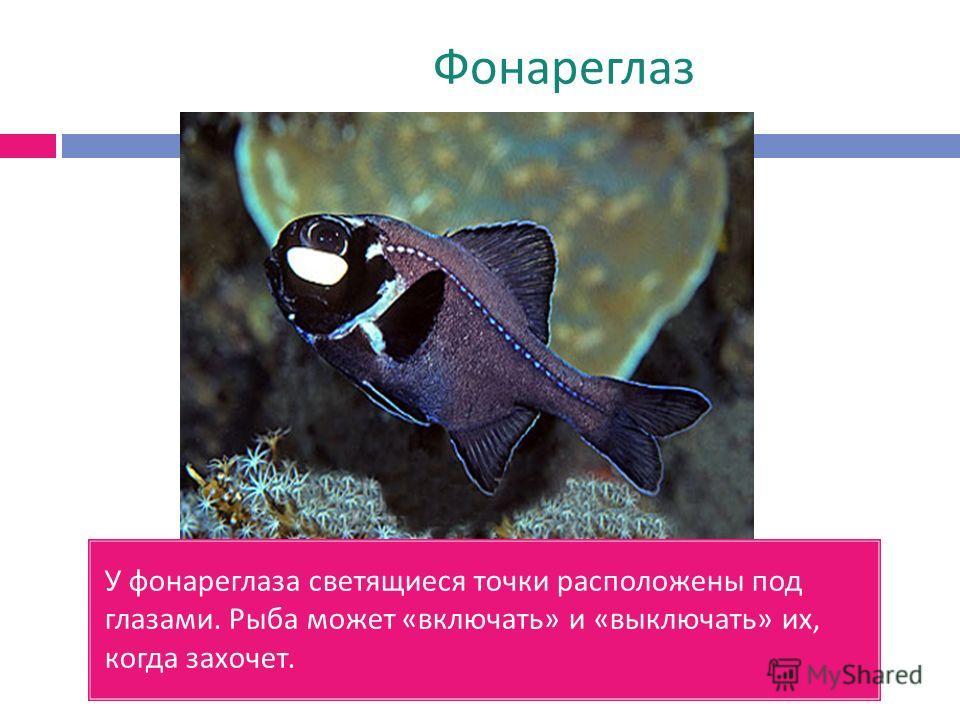 Фонареглаз У фонареглаза светящиеся точки расположены под глазами. Рыба может « включать » и « выключать » их, когда захочет.