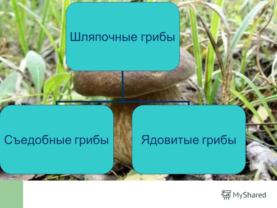 Шляпочные грибы Съедобные грибы Ядовитые грибы