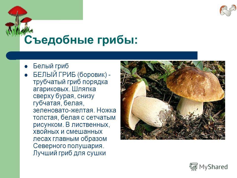 Съедобные грибы: Белый гриб БЕЛЫЙ ГРИБ (боровик) - трубчатый гриб порядка агариковых. Шляпка сверху бурая, снизу губчатая, белая, зеленовато-желтая. Ножка толстая, белая с сетчатым рисунком. В лиственных, хвойных и смешанных лесах главным образом Сев