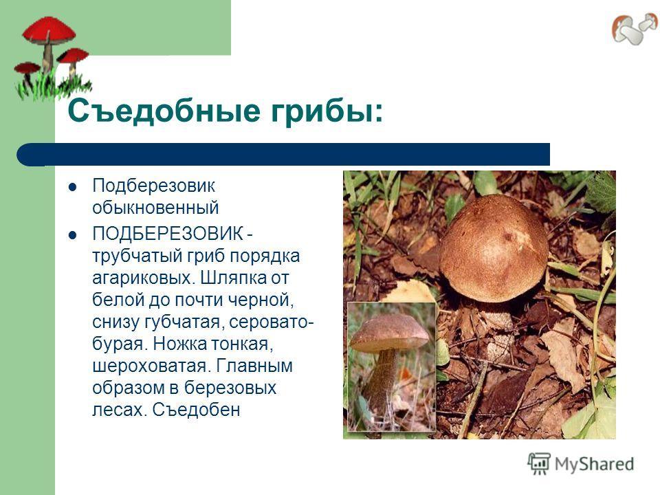 Съедобные грибы: Подберезовик обыкновенный ПОДБЕРЕЗОВИК - трубчатый гриб порядка агариковых. Шляпка от белой до почти черной, снизу губчатая, серовато- бурая. Ножка тонкая, шероховатая. Главным образом в березовых лесах. Съедобен