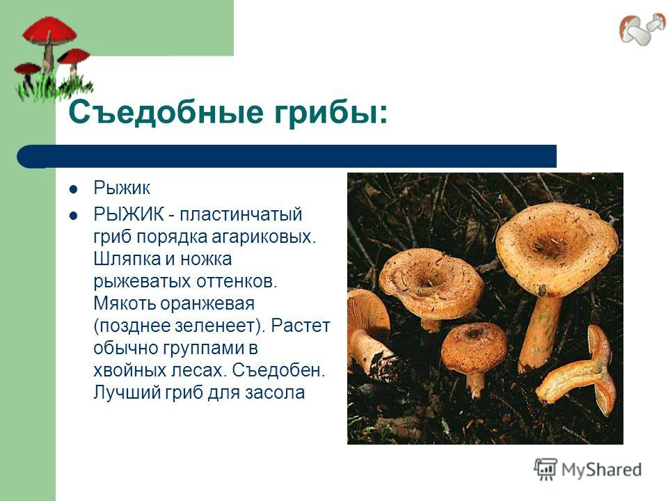 Съедобные грибы: Рыжик РЫЖИК - пластинчатый гриб порядка агариковых. Шляпка и ножка рыжеватых оттенков. Мякоть оранжевая (позднее зеленеет). Растет обычно группами в хвойных лесах. Съедобен. Лучший гриб для засола