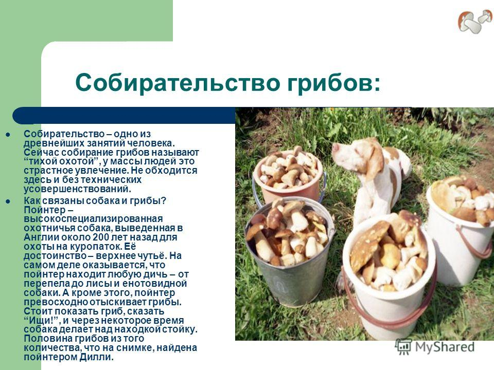 Собирательство грибов: Собирательство – одно из древнейших занятий человека. Сейчас собирание грибов называют тихой охотой, у массы людей это страстное увлечение. Не обходится здесь и без технических усовершенствований. Как связаны собака и грибы? По