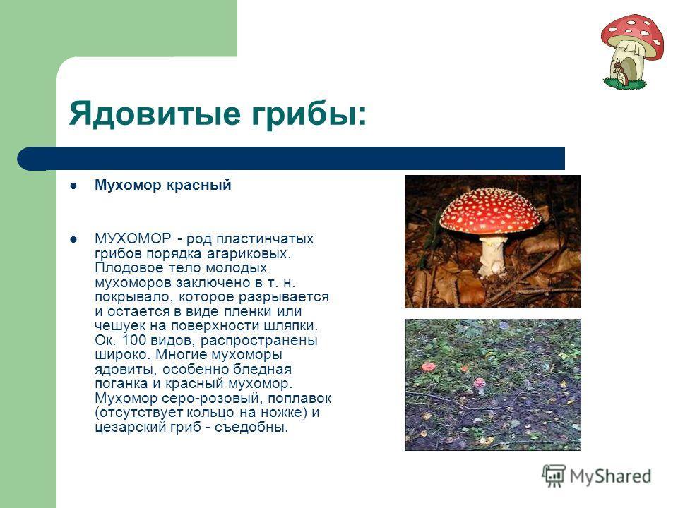 Ядовитые грибы: Мухомор красный МУХОМОР - род пластинчатых грибов порядка агариковых. Плодовое тело молодых мухоморов заключено в т. н. покрывало, которое разрывается и остается в виде пленки или чешуек на поверхности шляпки. Ок. 100 видов, распростр