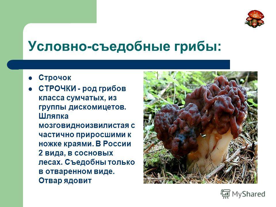 Условно-съедобные грибы: Строчок СТРОЧКИ - род грибов класса сумчатых, из группы дискомицетов. Шляпка мозговидноизвилистая с частично приросшими к ножке краями. В России 2 вида, в сосновых лесах. Съедобны только в отваренном виде. Отвар ядовит