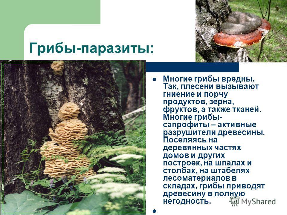 Грибы-паразиты: Многие грибы вредны. Так, плесени вызывают гниение и порчу продуктов, зерна, фруктов, а также тканей. Многие грибы- сапрофиты – активные разрушители древесины. Поселяясь на деревянных частях домов и других построек, на шпалах и столба