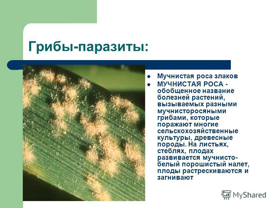 Грибы-паразиты: Мучнистая роса злаков МУЧНИСТАЯ РОСА - обобщенное название болезней растений, вызываемых разными мучнисторосяными грибами, которые поражают многие сельскохозяйственные культуры, древесные породы. На листьях, стеблях, плодах развиваетс