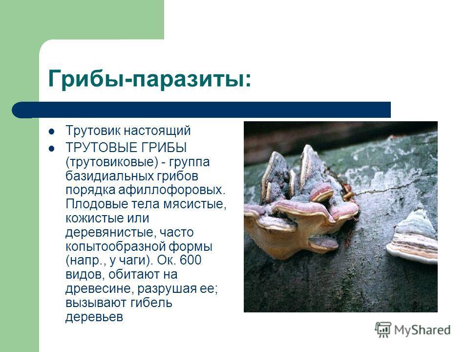 Трутовик настоящий ТРУТОВЫЕ ГРИБЫ (трутовиковые) - группа базидиальных грибов порядка афиллофоровых. Плодовые тела мясистые, кожистые или деревянистые, часто копытообразной формы (напр., у чаги). Ок. 600 видов, обитают на древесине, разрушая ее; вызы