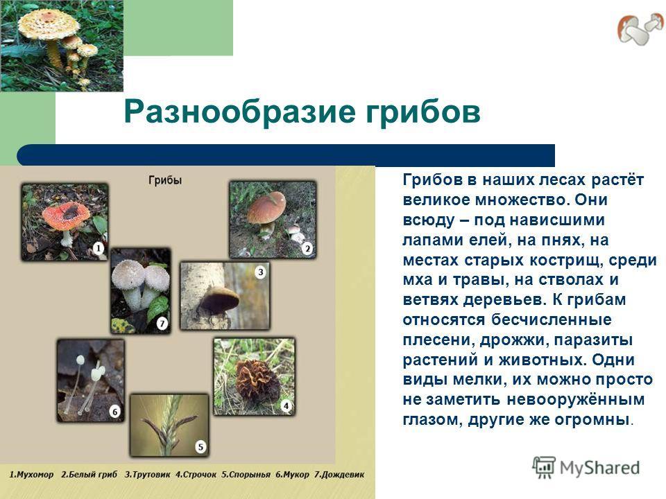 Разнообразие грибов Грибов в наших лесах растёт великое множество. Они всюду – под нависшими лапами елей, на пнях, на местах старых кострищ, среди мха и травы, на стволах и ветвях деревьев. К грибам относятся бесчисленные плесени, дрожжи, паразиты ра