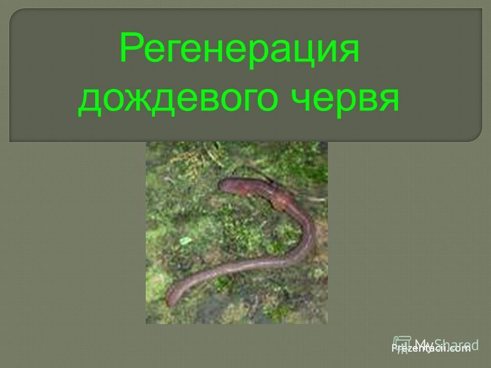 Prezentacii.com Регенерация дождевого червя
