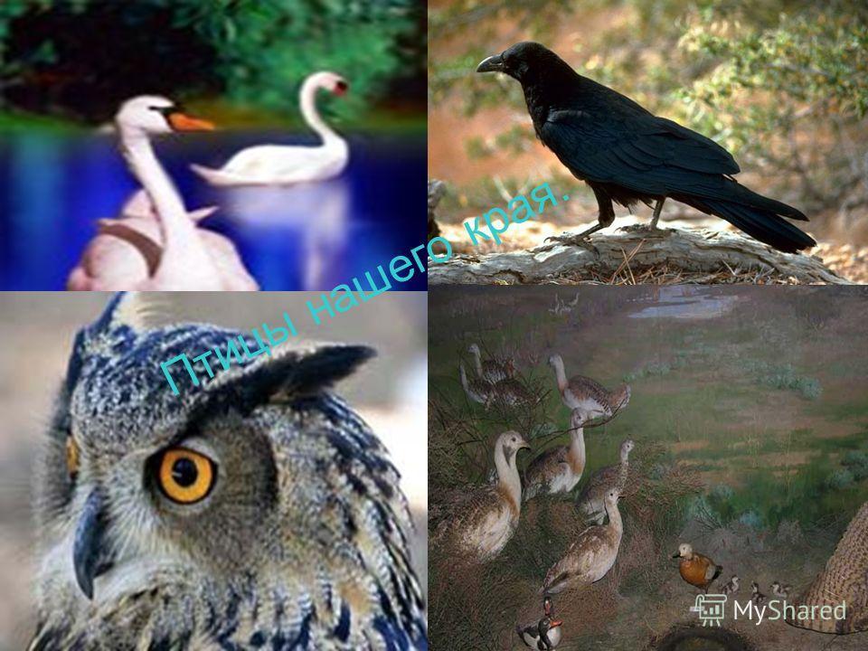 Птицы нашего края.