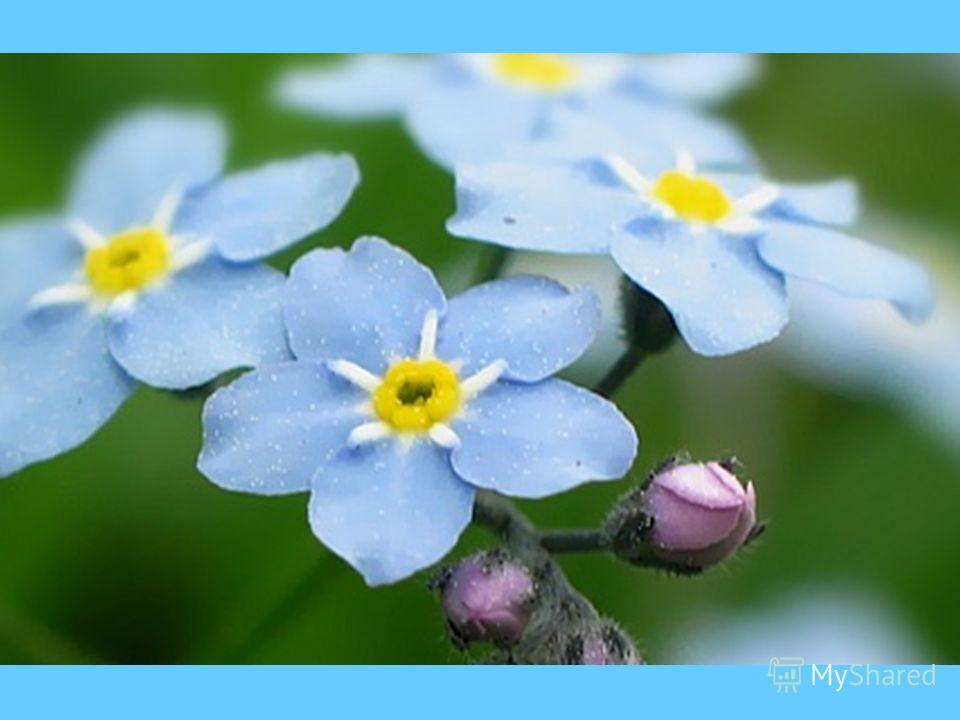 FORGET- ME-NOTS