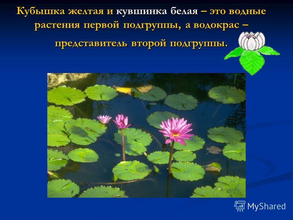 Кубышка желтая и кувшинка белая – это водные растения первой подгруппы, а водокрас – представитель второй подгруппы.