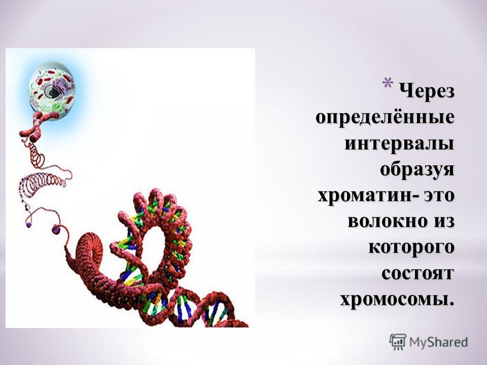 * Через определённые интервалы образуя хроматин- это волокно из которого состоят хромосомы.