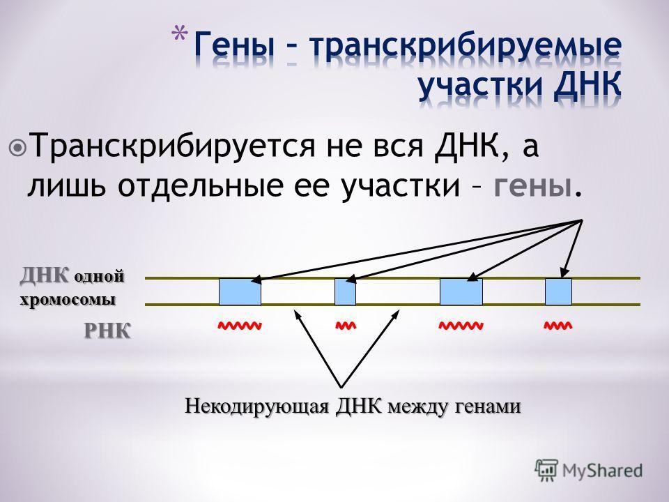 Транскрибируется не вся ДНК, а лишь отдельные ее участки – гены. ДНК одной хромосомы РНК Некодирующая ДНК между генами