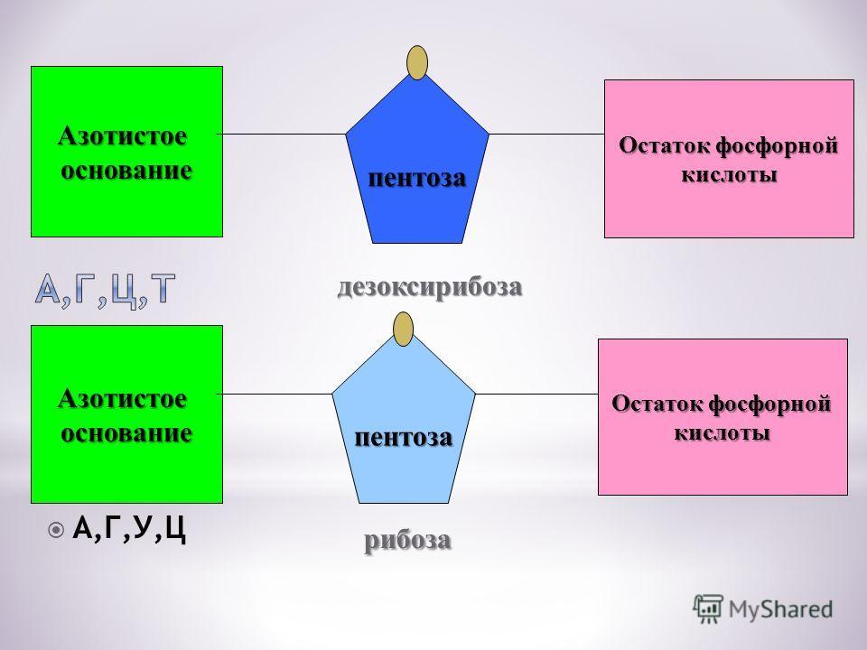 Азотистоеоснование Остаток фосфорной кислоты пентоза Азотистоеоснованиепентоза кислоты А,Г,У,Ц дезоксирибоза дезоксирибоза рибоза рибоза