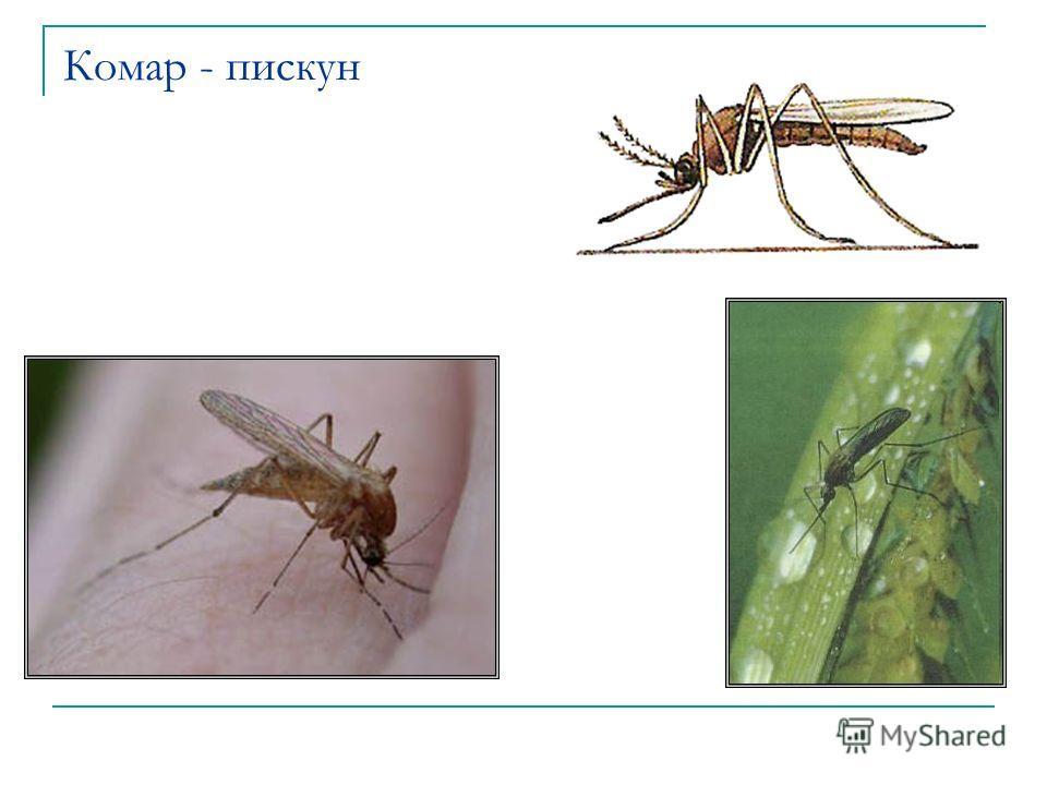 Комар - пискун