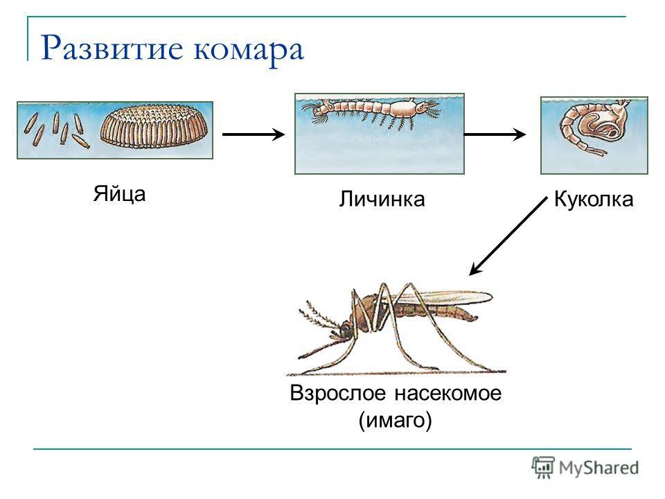 Развитие комара Яйца ЛичинкаКуколка Взрослое насекомое (имаго)