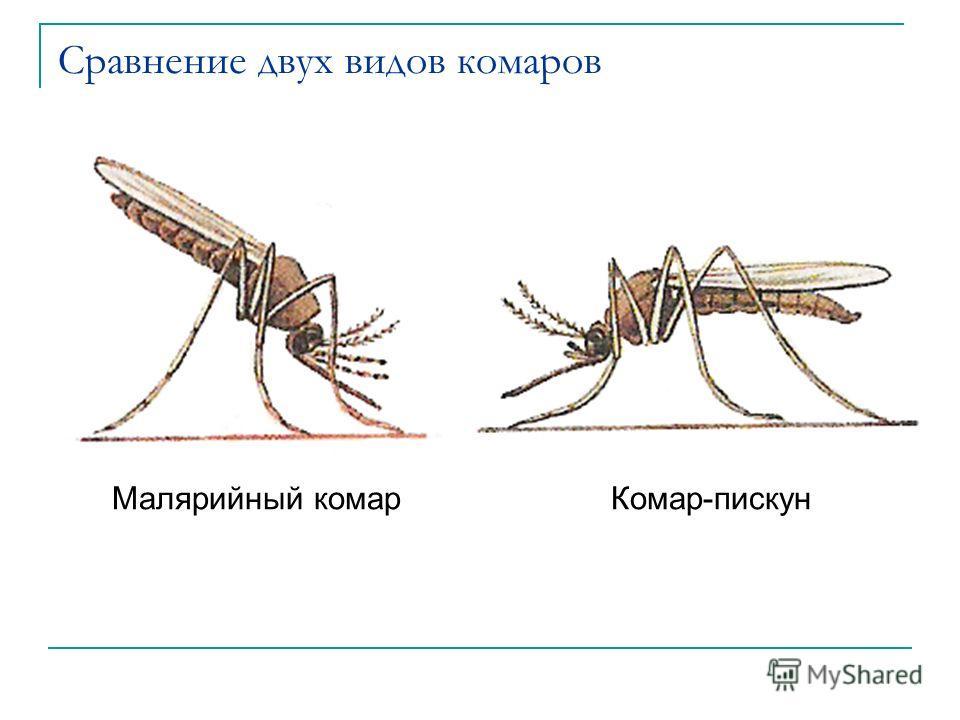 Сравнение двух видов комаров Малярийный комарКомар-пискун